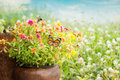 Free Common Purslane Flower Royalty Free Stock Photo - 33766045