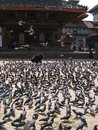 Free Pigeons On The Central Square Royalty Free Stock Photography - 33768317