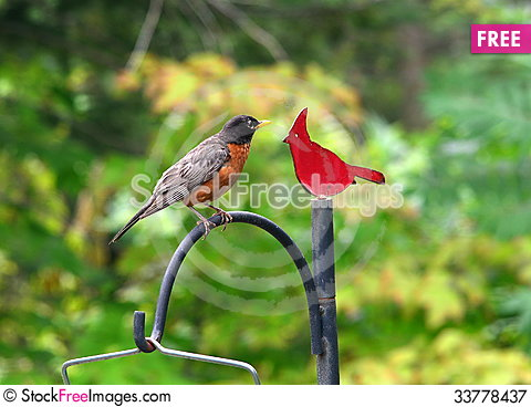 Free Robin And Cardinal Royalty Free Stock Photography - 33778437