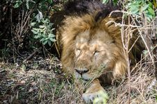 Free Lion Resting Royalty Free Stock Photo - 33770065