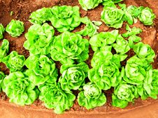 Free Lettuce Royalty Free Stock Photo - 33775665