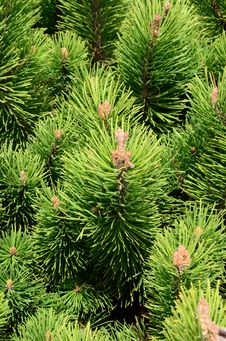 Free Pine Needles Stock Photo - 33776990