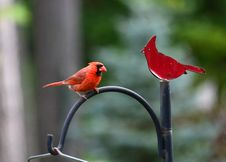 Cardinal And Cardinal Stock Photography