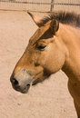 Free Horse Przhevalsky Stock Images - 33783454