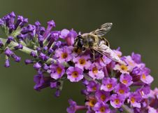 Free Hoverfly &x28;syrphidae&x29; Stock Image - 33782501