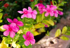 Free Periwinkle Flower Stock Images - 33785084
