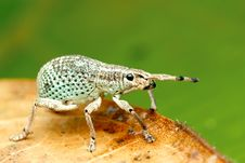 Free Beautiful Greenish Broad-nosed Weevil Stock Photo - 33795890