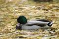 Free Mallard Duck Stock Image - 3381251
