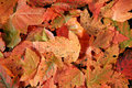Free Red Leaves Royalty Free Stock Photography - 3385567