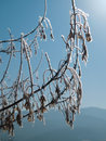 Free Frozen Branches With Catkin Royalty Free Stock Photography - 3389237