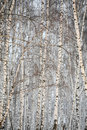 Free Birch Wood In Winter Russia Stock Photos - 3389243