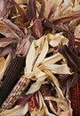 Free Indian Corn 5716 Royalty Free Stock Image - 3389246