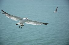 Seagull--1 Royalty Free Stock Image