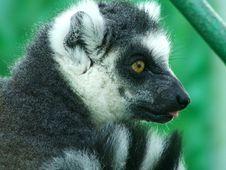 Free Lemur Catta Stock Images - 3382244