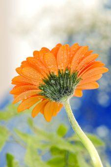 Free Daisy Royalty Free Stock Photo - 3382305