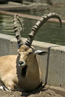 Free Ibex In Reserve Park Royalty Free Stock Photos - 3383228