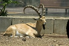 Free Ibex In Reserve Park Stock Photo - 3383240