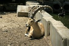 Free Ibex In Reserve Park Stock Photo - 3383480