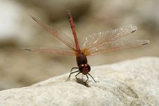 Free Red Dragonfly Royalty Free Stock Photo - 3383675