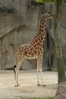 Free Giraffe Stock Images - 3383714