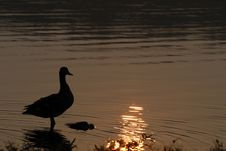 Free Waterfowl Silhouette Stock Photos - 3387643