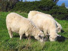 Free Sheep And Glassland Royalty Free Stock Photo - 3387915