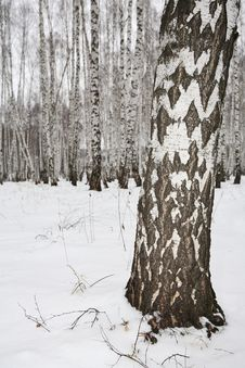 Free Birch Wood In Winter Russia Stock Photography - 3389142