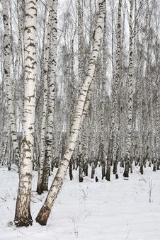 Free Birch Wood In Winter Russia Royalty Free Stock Image - 3389156