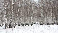 Free Birch Wood In Winter Russia Stock Photography - 3389172