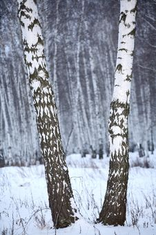 Free Birch Wood In Winter Russia Stock Photos - 3389213