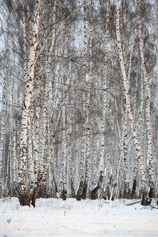 Free Birch Wood In Winter Russia Stock Image - 3389241