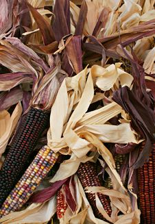 Free Indian Corn 5716 Royalty Free Stock Image - 3389246