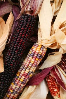 Free Indian Corn 5722 Stock Photography - 3389282