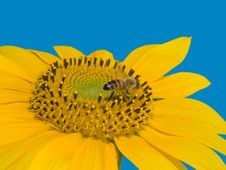 Free Bee On The Sunflower Stock Photography - 3389402