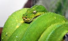 Free Python Stock Image - 3389721