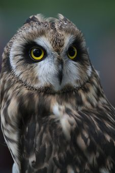 Free Short-eared Owl Stock Image - 33809401