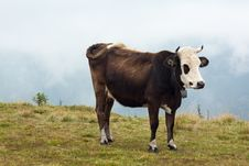 Free Brown Cow Stock Images - 33810734