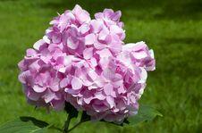 Free Pink Hydrangea Stock Photo - 33812330