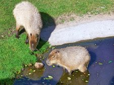 Free Capybaras Stock Photos - 33813233