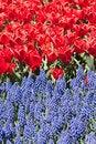 Free Grape Hyacinths Stock Photography - 33822352