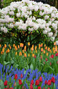 Free Rhodendrons And Tulips Stock Photo - 33824500