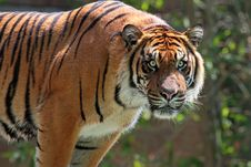 Free Tiger Stock Photo - 33828720