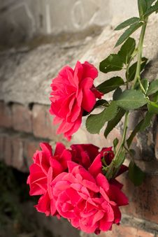 Free Rose Creeping On Old Wall Stock Photography - 33830732