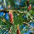 Free Pine Tree Blossom Royalty Free Stock Photos - 33845148
