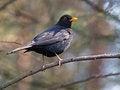 Free Blackbird Royalty Free Stock Photos - 33849108
