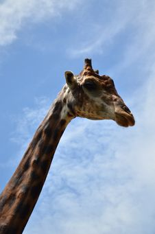 Free Giraffe  High With Blue Sky Stock Photography - 33844792