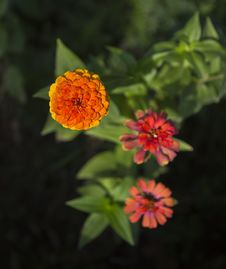 Free Zinnia Flower Stock Image - 33845371