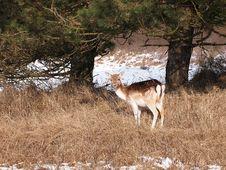Free Fallow Deer Stock Image - 33847431