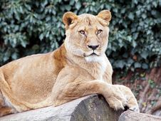 Free Lion Stock Image - 33848051
