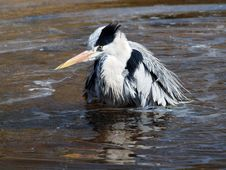 Free Grey Heron Royalty Free Stock Images - 33848809